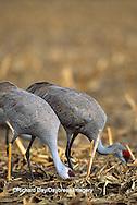 00882-02307 Sandhill Cranes (Grus candensis) feeding in corn field near Kearney   NE