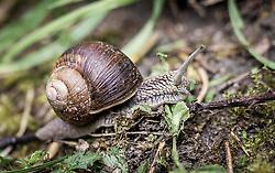 THEMENBILD - eine Weinbergschnecke (Helix pomatia) kriecht auf einem Waldboden. Schnecken mit Haus bevorzugen kalkhaltige Böden, damit sie ihr Haus ausbilden können. Alle Schnecken mit Haus stehen unter Naturschutz, aufgenommen am 10. Juni 2019, Kaprun, Österreich // a vineyard snail (Helix pomatia) crawls on a forest floor. Snails with a house prefer calcareous soils so that they can form their house. All snails with houses are protected by nature conservation laws on 2019/06/10, Kaprun, Austria. EXPA Pictures © 2019, PhotoCredit: EXPA/ Stefanie Oberhauser