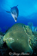 Spot, a wild, lone, sociable bottlenose dolphin, Tursiops truncatus, and brain coral, Cayman Brac, Cayman Islands ( Caribbean Sea )