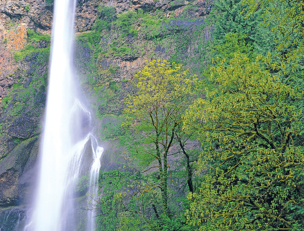 Multnomah Falls and Moss Covered Maple Trees