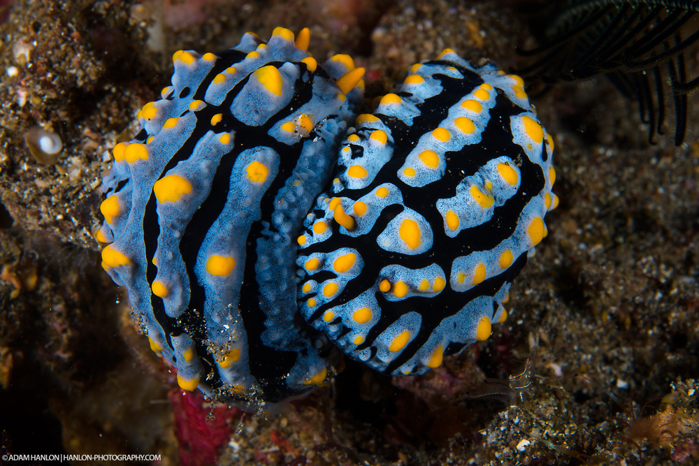 Two Phyllidia marindica nudibranchs prepare to mate. These animals are widespread throughout the Indian and Pacific Oceans.