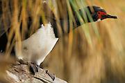 Adult Rock Cormorant (Phalacrocorax magellanicus). This bird is locally known as a rock shag.