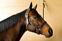 Bluegrass Cat (stallion), Winstar Farm (thoroughbred horse farm), Versailles (near Lexington), Kentucky USA