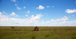 Spinifex termite mounds stand in pasture just outside the township of Fitzroy Crossing.