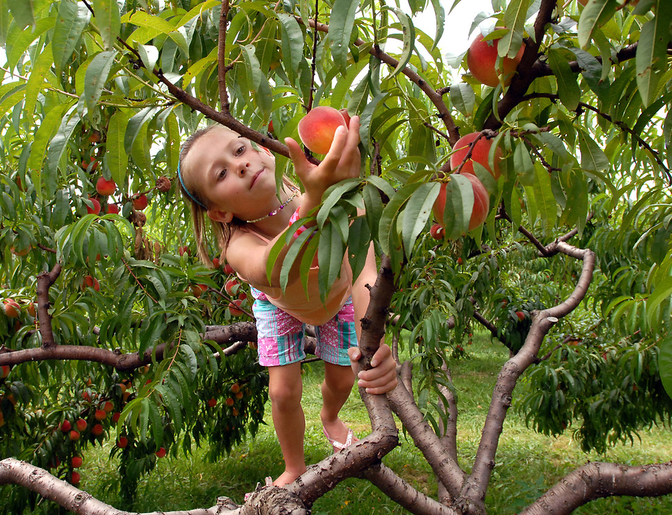 8/12/09 Peach<br /> ML0575C<br /> Molly Zaffino age 7 of Branford had an eagle eye for a ripe peach when she went picking with her family at Bishop's Orchards. Bishop's pick-your-own fields are on New England Rd. in Guilford and open seven days a week. Right now blueberries and peaches are ripe for picking. Photo by Mara Lavitt