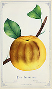 Fall Jennetting Apple Variety from Dewey's Pocket Series ' The nurseryman's pocket specimen book : colored from nature : fruits, flowers, ornamental trees, shrubs, roses, &c by Dewey, D. M. (Dellon Marcus), 1819-1889, publisher; Mason, S.F Published in Rochester, NY by D.M. Dewey in 1872