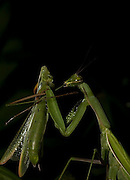 Sexual Cannibalism! Female Paying mantis Devours her partner<br /> <br /> imagine every time you made love to your partner you were dicing with imminent death. It might make<br /> you wary of having sex ever again (if you survived, that is!) yet male praying mantises can never be sure they will survive the sex act owing to their partners<br /> natural predatory instinct. Sexual cannibalism is a natural phenomenon whereby one organism (generally the female) eats the other (typically the Male) before, during or right after sex.<br /> this amazing sequence of photographers shows a female praying mantis eating her lover <br /> <br /> Photo shows: Dismounting is possibly the most dangerous stage of the sex act for the male mantis as it is at this point that he is most likely to get his head bitten off<br /> <br /> ©Oliver Koemmerling/Exclusivepix