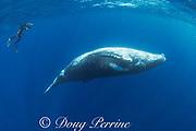 Jesse Cancelmo photographs humpback whale, Megaptera novaeangliae, young male, Nomuka group, Ha'apai Islands, Kingdom of Tonga, South Pacific, MR510
