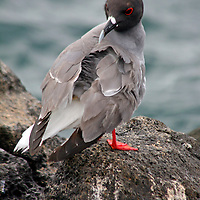 South America, Ecuador, Galapagos Islands. Swallow-tailed Gull.