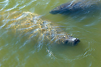 Manatee (Trichechus manatus), Meritt Island, Florida, USA. From the Manatee observation deck   Photo: Peter Llewellyn