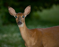 Doe with bright eyes reflecting the flash. Late-spring backyard nature in New Jersey. Image taken with a Nikon D2xs camera and 70-200 mm f/2.8 lens + 1.4 TC-E II teleconverter and SB-800 flash (ISO 100, 280 mm, f/4, 1/60 sec)