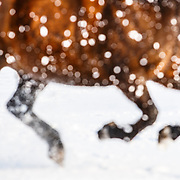 20130309 Morgan Horse in Snow
