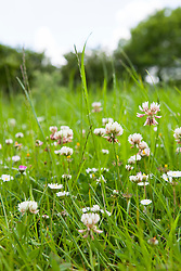 White Clover growing in a field. Trifolium repens