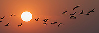 On a cold November evening as the sun was setting, I photographed these White-faced Ibis looking for a place to land for the night at the  Merced National Wildlife Refuge in California.