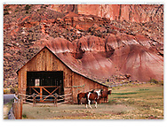 Grazing horses at The Gifford Homestead Barn at Capitol Reef National Park, Utah, USA