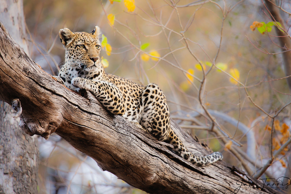 A leopard resting in a tree (Panthera pardus), Moremi Game Reserve, Botswana, Africa