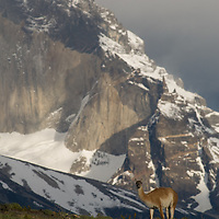 A Guanaco (Lama guanicoe) stands in front of Monte Almirante Nieto in Torres del Paine National Park in Patagonia, Chile.