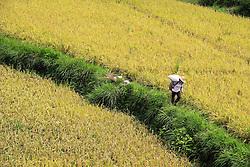 QIANDONGNAN, Sept. 7, 2016 (Xinhua) -- A farmer carries rice at fields in Yanzhai Village of Jingping County, southwest China's Guizhou Province, Sept. 7, 2016. Farmers are busy as autumn harvest season begins. (Xinhua/Yang Wenbin) (wyl) (Credit Image: © Yang Wenbin/Xinhua via ZUMA Wire)