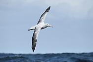 Southern Royal Albatross - Diomedea epomophora