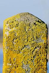 Groot dooiermos, Xanthoria parietina