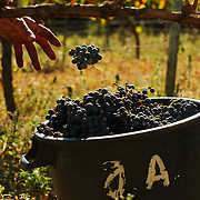 Worker during harvest throwing a bunch of grapes