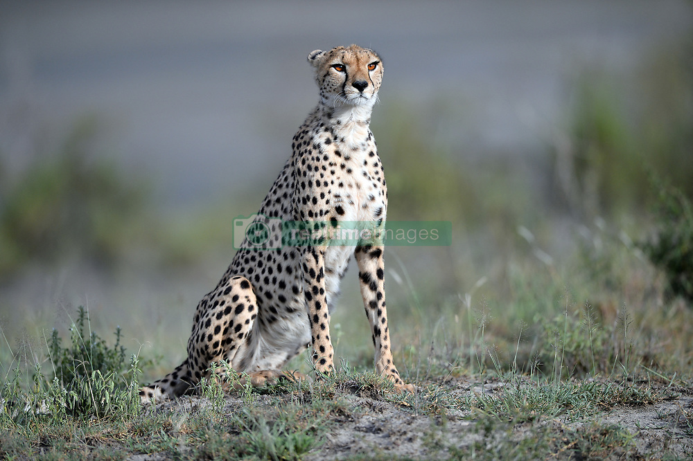 A Cheetah is seen in Ndutu area of Southern Serengeti National Park in Arusha Region, Tanzania, on August 25, 2019. Photo by Emy/ABACAPRESS.COM