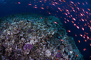 EGYPT. Marsa Alam. December 29th, 2013. A large school of Anthias, commonly known as Sea Goldies (sp. pseudanthias squamipinnis) swim across a deep plateau at Elphin stone, a popular dive site in the area.  This offshore pinnacle with multiple plateaus and canyons as you descend deeper, is in deep water and attracts large pelagic predators such as the oceanic white tip and scalloped hammerhead sharks.
