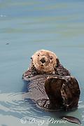 sea otter, Enhydra lutris ( Endangered Species ), Valdez, Alaska ( Prince William Sound ), USA