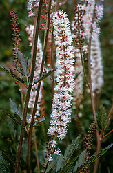 Actaea simplex Atropurpurea Group 'Brunette'<br /> ( Used to be Cimicifuga )