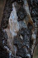 Tree resembling the abstract face of a bearded man - Oak Creek Canyon, AZ