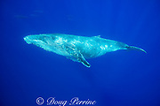 yearling humpback whale, Megaptera novaeangliae, with bottlenose dolphins, Tursiops truncatus, swimming in the background, Kona, Hawaii, USA ( Central Pacific Ocean )
