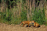 Young foxes playing at edge of field.
