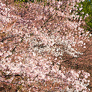 The flowering of nearly 1700 cherry blossoms around the Tidal Basin, some of which are over a century old, is an annual event in Washington's spring and brings hundreds of thousands of tourists to the city.