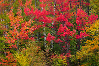 Peak autumn color graces the forest, Groton State Forest, Vermont