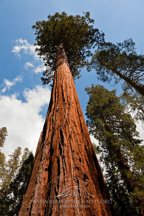 The massive trunk of a giant sequoia tree in Yosemite National Park.