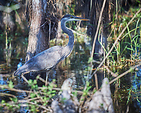 Great Blue Heron in Big Cypress Swamp. Image taken with a Nikon D3x camera and 70-200 mm f2.8 lens (ISO 100, 200 mm, f/2.8, 1/640 sec).