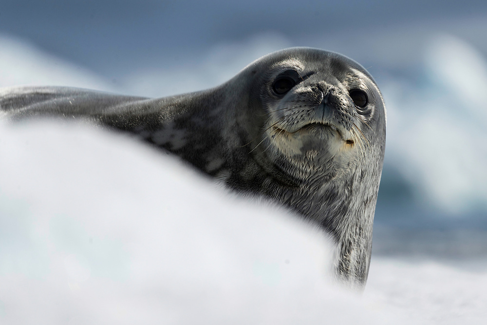 Weddell seal on Wednesday, Feb. 7, 2018 in Paulet Island, Antartica. (Photo by Ric Tapia)