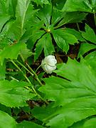 Image of May Apple (Podophyllum peltatum) growing in the University of Wisconsin Arboretum, Madison, Wisconsin, USA.