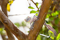 Leaf-tailed gecko. Magical Madagascar Photo Tour. Wildlife photography prints for sale.