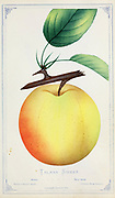 """The Tolman Sweet [Here As Talman Sweet] is a cultivar of apple with a butter yellow color, with faint russet dots  and a """"suture line"""" along one side of the fruit from top to bottom. from Dewey's Pocket Series ' The nurseryman's pocket specimen book : colored from nature : fruits, flowers, ornamental trees, shrubs, roses, &c by Dewey, D. M. (Dellon Marcus), 1819-1889, publisher; Mason, S.F Published in Rochester, NY by D.M. Dewey in 1872"""