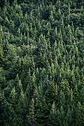 Stand of coniferous trees, Alaska