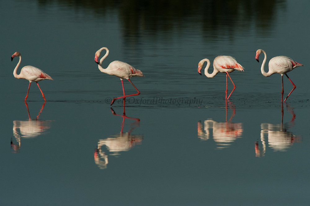 Greater Flamingos (Phoenicopterus ruber)<br /> about 25,000-30,000 flamingos over winter in Doñana but very few breed there as the wetlands dry up before the chicks are completely grown.<br /> Marsh in El Rocío Town<br /> Doñana National & Natural Park. Huelva Province, Andalusia. SPAIN<br /> 1969 - Set up as a National Park<br /> 1981 - Biosphere Reserve<br /> 1982 - Wetland of International Importance, Ramsar<br /> 1985 - Special Protection Area for Birds<br /> 1994 - World Heritage Site, UNESCO.<br /> The marshlands in particular are a very important area for the migration, breeding and wintering of European and African birds. It is also an area of old cultures, traditions and human uses - most of which are still in existance.<br /> <br /> Mission: Iberian Lynx, May 2009<br /> © Pete Oxford / Wild Wonders of Europe<br /> Zaldumbide #506 y Toledo<br /> La Floresta, Quito. ECUADOR<br /> South America<br /> Tel: 593-2-2226958<br /> e-mail: pete@peteoxford.com<br /> www.peteoxford.com