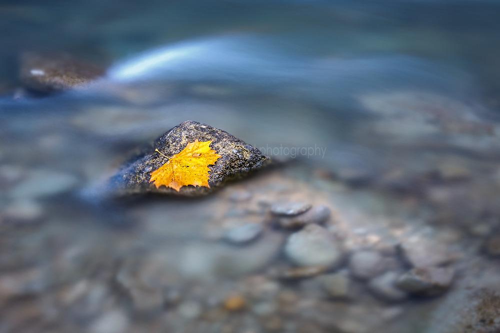 Autumn leaf on rock in Guadalupe River, James Kiehl River Bend Park, Comfort, Texas USA