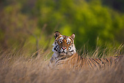 A Indian Bengal tiger (Panthera tigris tigris) in the wild, lying down in grass,,Bandhavgarh,Madhya Pradesh,India