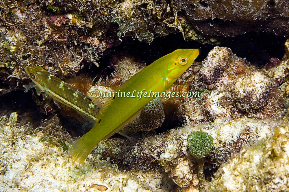 Blackear Wrasse inhabit sea grass beds and shallow reefs in Tropical West Atlantic; picture taken Utila, Honduras.