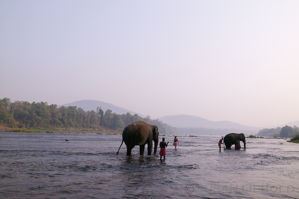Elephants are taken from the nearby training camp to be bathed in the river in Kerala, India.