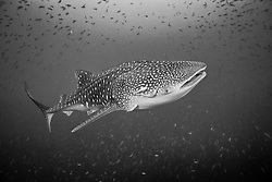 Whale Shark, Rhincodon typus, cruises among schooling fusiliers. Richelieu Rock, Andaman Sea, Thailand.