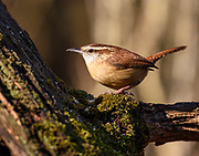 The Carolina Wren moves up the log, probing amont the wood for possible morsels on this cold winter day.