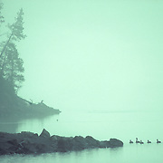 Å family of geese swim close to the shore of Lake Yellowstone in Yellowstone National Park.