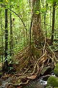 Branching aerial roots of tree in tropical rainforest, Masoala National Park, Madagascar, largest of the island's protected areas, UNESCO World Heritage Site, Masoala peninsula is exceptionally diverse due to its huge size, and variety of habitats